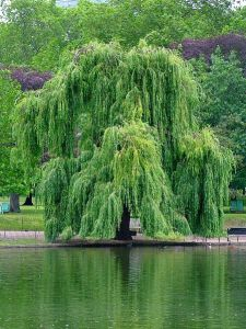 weeping lake